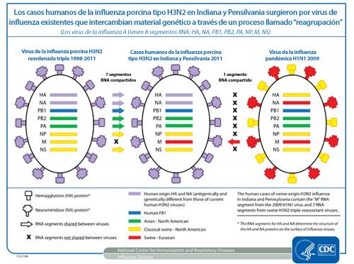 Los casos de infección humana con influenza H3N2 de origen porcino se produjeron a partir de virus de la influenza existentes que intercambian su material genético a través de un proceso llamado realineamiento.
