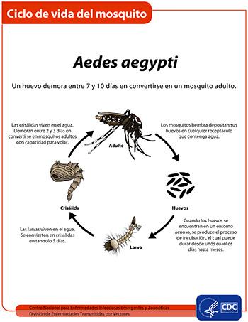 Vista en miniatura de la hoja informativa del ciclo de vida del mosquito