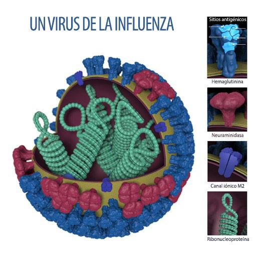 Imagen del virus de la influenza ysitios antigénicos
