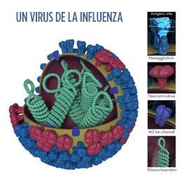 Esta es la imagen de un virus de la influenza. La hemaglutinina (HA) es una proteína superficial del virus que permite que ingrese un virus de la influenza e infecte una célula sana. Foto por: Dan Higgins, CDC.